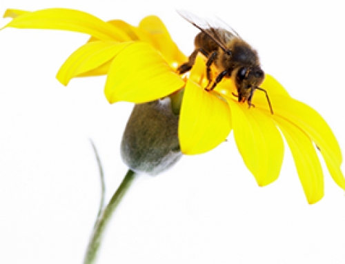 Dank Bienen bleibt der Obstkorb voll